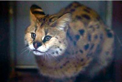 Chiku, il gattopardo verrà trasferito in un centro di recupero.