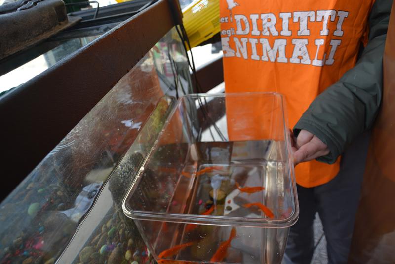 Roma violazione regolamento tutela animali pesci rossi for Dove comprare pesci rossi