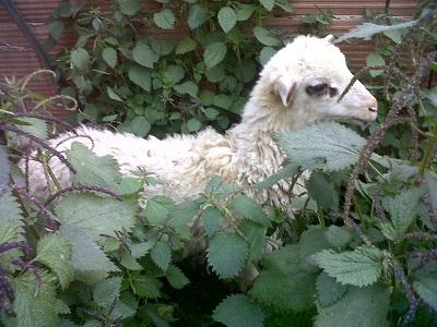 """""""Lascialo vivere"""": fiaccolata di sensibilizzazione sulla strage pasquale di agnelli e capretti"""