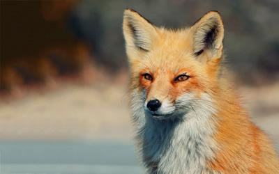 Il TAR da ragione alla LAV: fermata la caccia anticipata alla volpe.