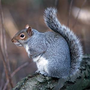 Salviamo lo scoiattolo grigio: lettera ai residenti