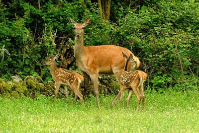 La caccia degli orrori in Alto Adige. La Provincia di Bolzano vuole una drastica riduzione del numero di cervi in Val Venosta.