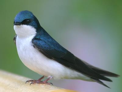LAV : Rondini tutelate. Vietato toccare i loro nidi.