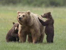 Bolzano come Trento vuole mano libera per uccidere lupi e orsi. Norma illegittima!