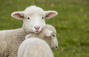 Pasqua: mangiare agnello è un precetto religioso? No solo abitudine culinaria